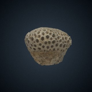 3d model of Astraea (Orbicella) curta