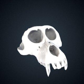 3d model of Macaca leonina: Cranium