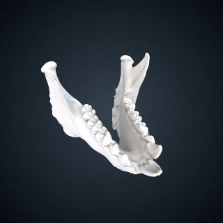 3d model of Propithecus verreauxi: Mandible