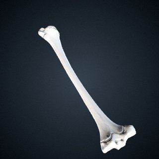3d model of Pongo abelii: Tibia Left