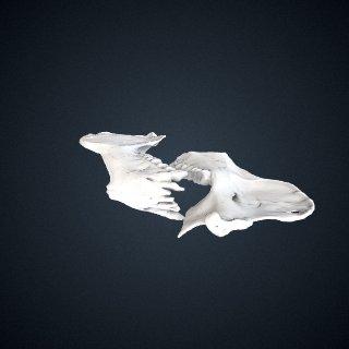 3d model of Propithecus diadema: Mandible