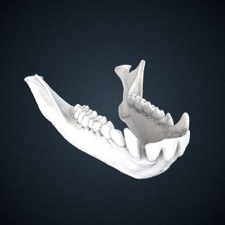 3d model of Erythrocebus patas: Mandible