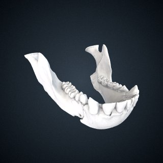 3d model of Pan troglodytes troglodytes: Mandible
