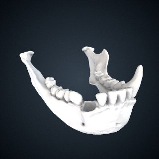 3d model of Hylobates pileatus: Mandible