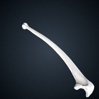3d model of Pan troglodytes troglodytes: Ulna Left