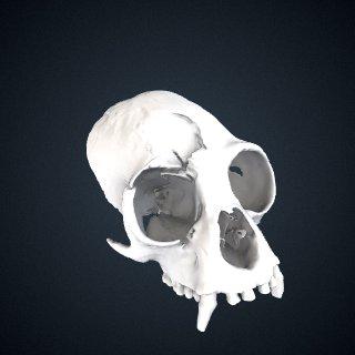 3d model of Hoolock hoolock hoolock: Cranium