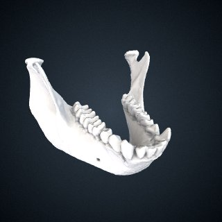 3d model of Semnopithecus priam thersites: Mandible