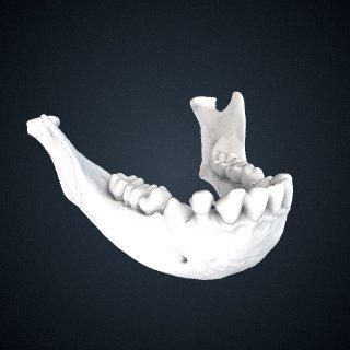 3d model of Hylobates lar x sp.: Mandible