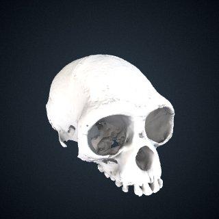3d model of Hylobates lar: Cranium