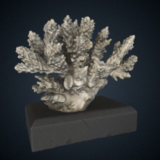 3d model of Madrepora valida