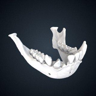 3d model of Hylobates lar vestitus: Mandible