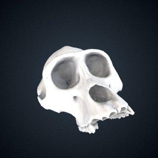 3d model of Gorilla gorilla diehli: Cranium