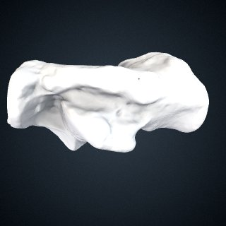 3d model of Gorilla beringei beringei: Calcaneus Right