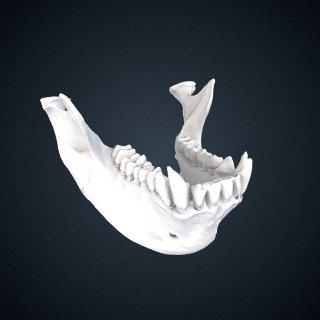 3d model of Rhinopithecus roxellana roxellana: Mandible