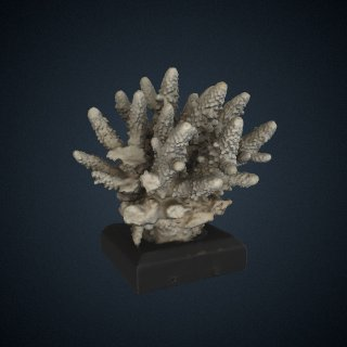 3d model of Madrepora humilis