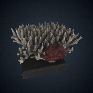 3d model of Acropora secale