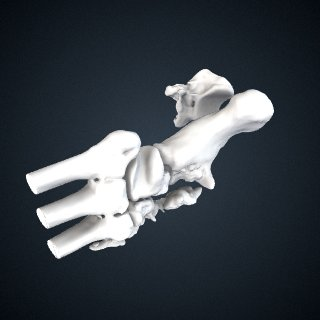 3d model of Pongo abelii: Tarsals Left
