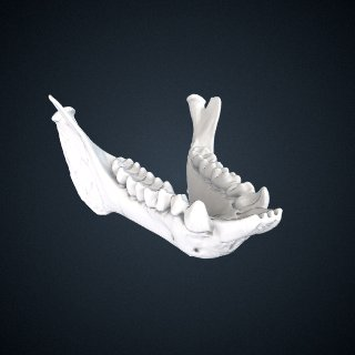 3d model of Propithecus diadema: Mandible