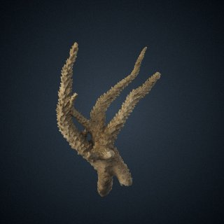 3d model of Acropora valenciennesi