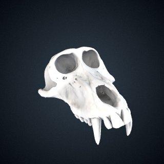 3d model of Papio papio: Cranium