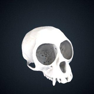 3d model of Miopithecus ogouensis: Cranium
