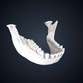 3d model of Piliocolobus kirkii: Mandible