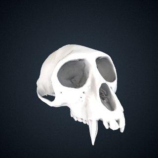 3d model of Cercopithecus nictitans nictitans: Cranium