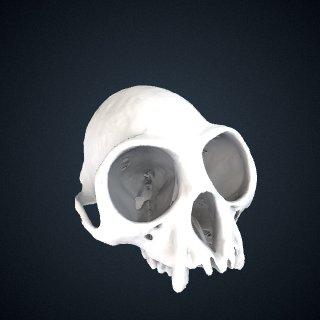 3d model of Trachypithecus shortridgei: Cranium