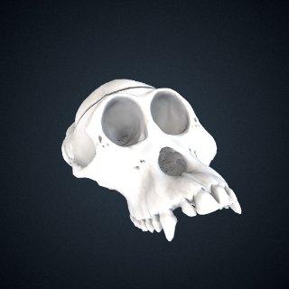 3d model of Peromyscus maniculatus gambelii: cranium