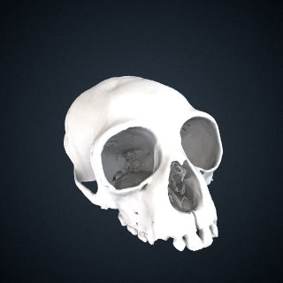 3d model of Hoolock hoolock leuconedys: Cranium