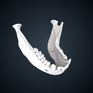 3d model of Ateles geoffroyi geoffroyi: Mandible