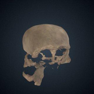 3d model of Homo erectus: cranium