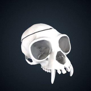 3d model of Hylobates albibarbis: Cranium