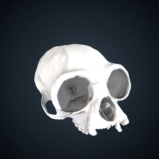 3d model of Hylobates moloch: Cranium