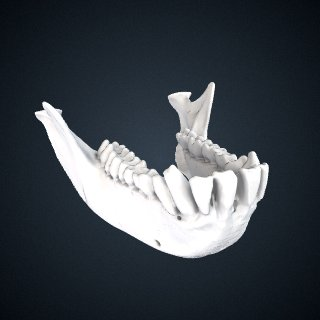 3d model of Chlorocebus sabaeus: Mandible
