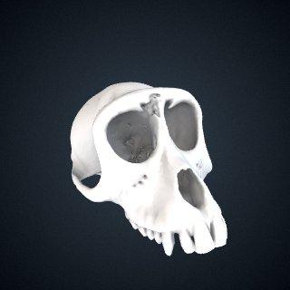 3d model of Macaca fascicularis fuscus: Cranium