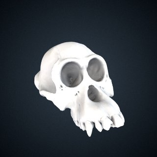 3d model of Pongo pygmaeus: cranium