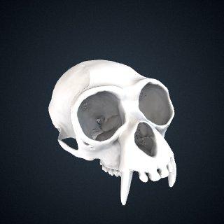 3d model of Hylobates lar entelloides: Cranium