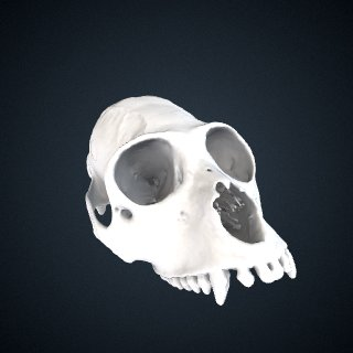 3d model of Alouatta macconnelli: Cranium