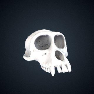 3d model of Macaca sinica: Cranium