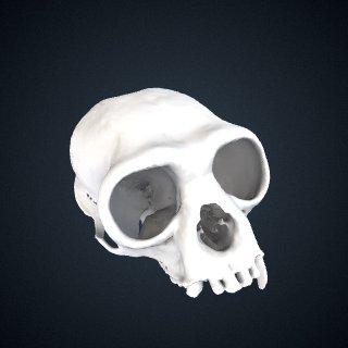 3d model of Hylobates muelleri abbotti: Cranium
