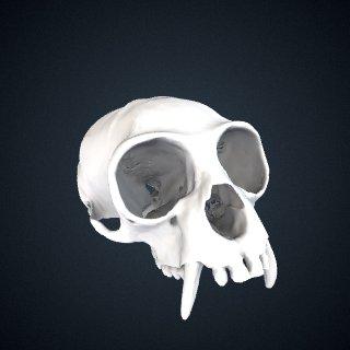 3d model of Hylobates muelleri funereus: Cranium