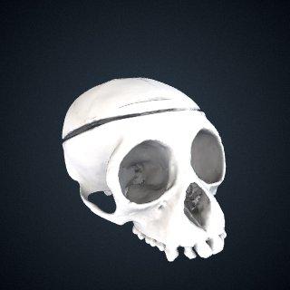 3d model of Symphalangus syndactylus: Cranium