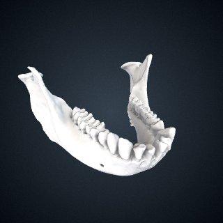3d model of Trachypithecus shortridgei: Mandible