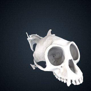3d model of Trachypithecus obscurus sanctorum: Cranium