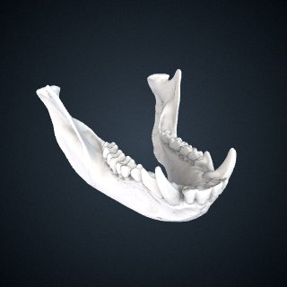 3d model of Cercopithecus mitis stuhlmanni: Mandible
