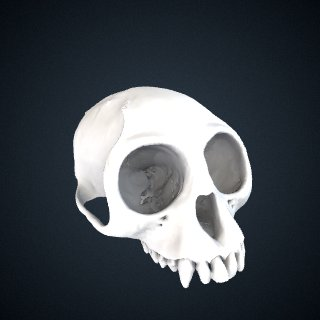 3d model of Trachypithecus phayrei crepusculus: Cranium