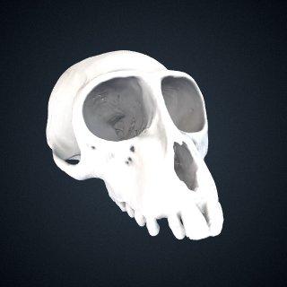 3d model of Allenopithecus nigroviridis: Cranium
