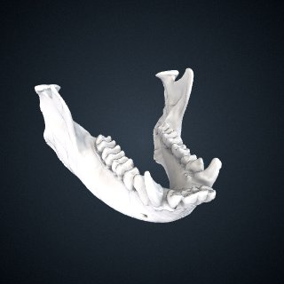 3d model of Presbytis potenziani siberu: Mandible