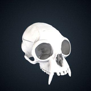3d model of Nomascus concolor: Cranium